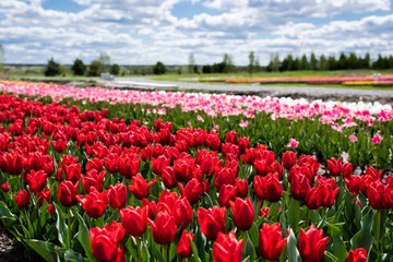selective focus of colorful tulips field with blue sky and clouds