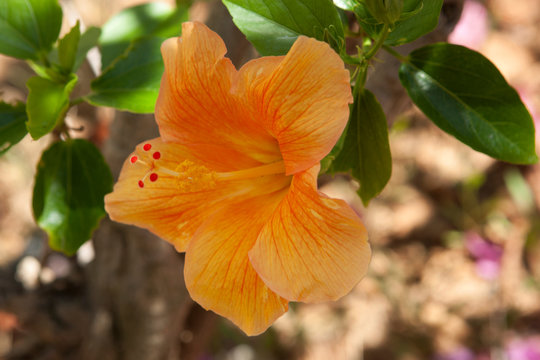 Yellow hibiscus flower and foliage over bright background.