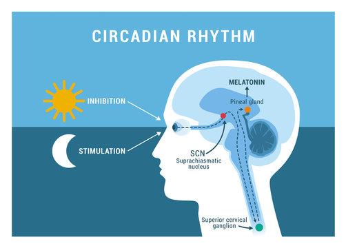 The circadian rhythm and sleep-wake cycle