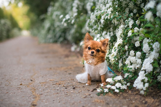 chihuahua in white flowers