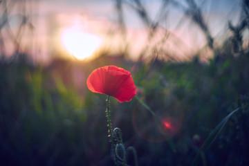 Obraz samotny czerwony kwiat o zachodzie słońca - fototapety do salonu