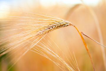 Poster Amsterdam Golden ears of wheat. Macro image.
