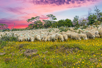 Suinset over herd of sheep in Tierra del Fuego