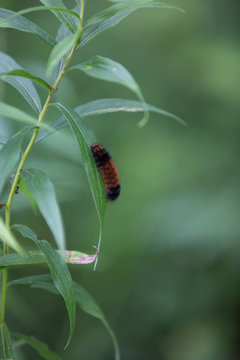 Pyrrharctia isabella, the isabella tiger moth, banded woolly bear or just woollybear or woolly worm, occurs in the United States and southern Canada. The first European to describe it was James Edward