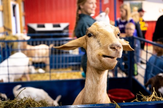 state fair goat eating straw