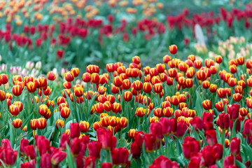 Beautiful colorful red and yellow tulips background. Field of spring flowers. Flower bed tulips in Danang, Vietnam