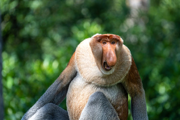 Portrait of a wild Proboscis monkey or Nasalis larvatus, in the rainforest of island Borneo, Malaysia, close up