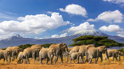 Wall Mural - Mt Kilimanjaro Tanzania, large herd of african elephants and snow capped mountain, taken on a safari trip in Kenya with cloudy blue sky. Africas highest point with largest mammals savannah landscape.