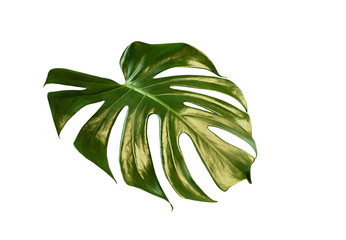 Plant monstera leaf isolated on white background.
