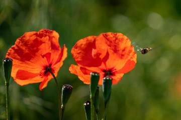 two red poppy in daylight and a hoverfly