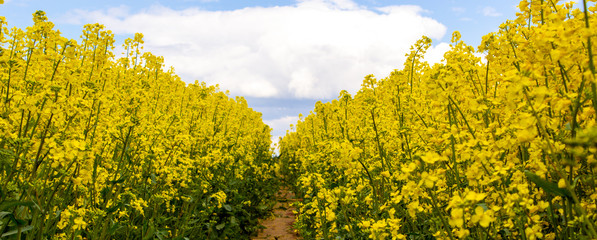 Clear path among the bio field with still growing up and unopened yellow flowers. Photo before the...