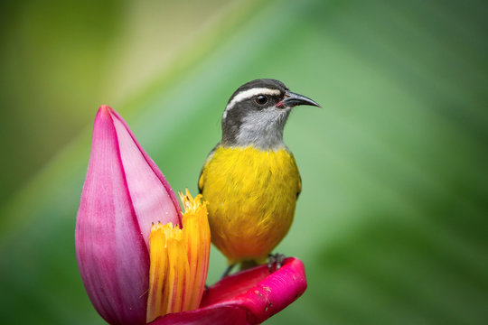 The Bananaquit, Coereba flaveola is sitting on the amazing red and yellow banana bloom in colorful backgound. Costa Rica