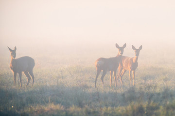 Family of roe deers at misty sunrise