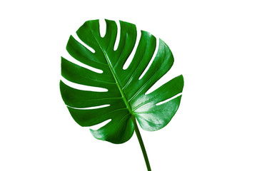 Wall Mural - Beautiful Tropical Monstera leaf isolated on white background with clipping path for design elements, Flat lay