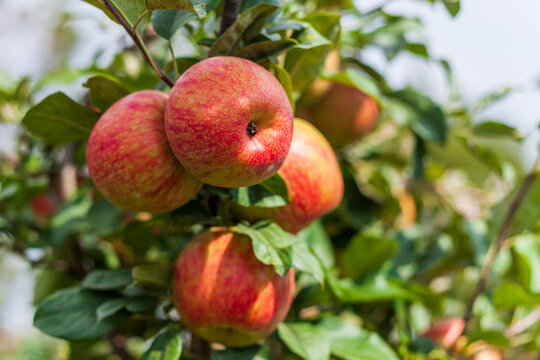 ripe apples honeycrisp on apple tree branch.