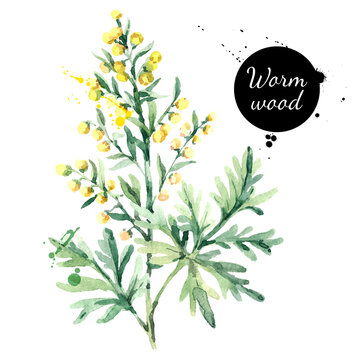 Hand drawn watercolor wormwood flower illustration. Painted sketch herbs for medicine, health products and homeopathy vector isolated on white background