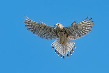 Hovering, wonderful portrait of Common kestrel with lizard in the beak (Falco tinnunculus) Fotomurales