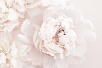 Obraz Pastel peony flowers in bloom as floral art background, wedding decor and luxury branding design - fototapety do salonu