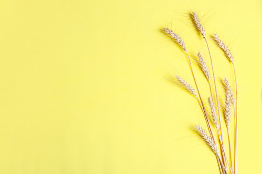 Golden wheat and rye ears, dry yellow cereals spikelets on yellow, background, closeup, flat lay, top view, copy space