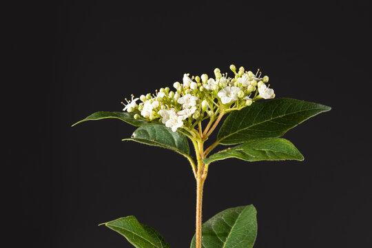 Flower corymb of laurustinus Viburnum tinus 'Eve'.