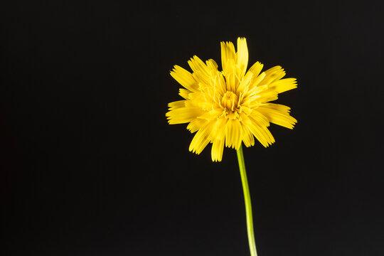Flower of false dandelion Hypochaeris radicata.