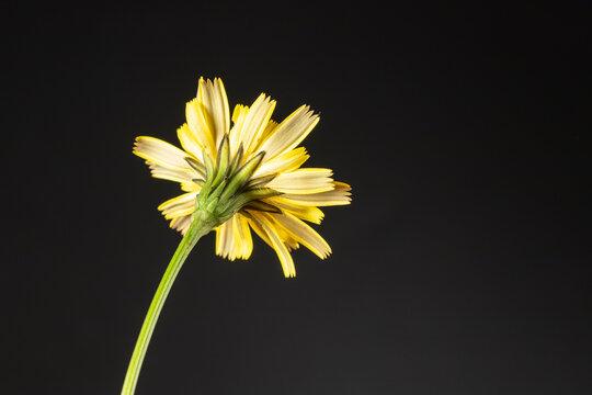Reverse of false dandelion Hypochaeris radicata.