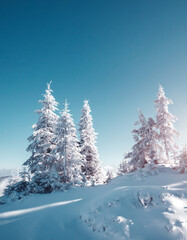 Wall Mural - Magical white spruces on a frosty day. Location Carpathian mountains, Ukraine, Europe.