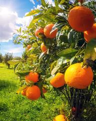 Wall Mural - The orange garden
