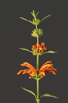 Flowers of orange variety of lion's ear Leonotis leonorus.