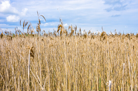 Reed Bed Area - View over and into a reedbed area by the side of a swampy lake.