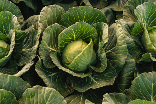 Green cabbage head closeup in nature on field.
