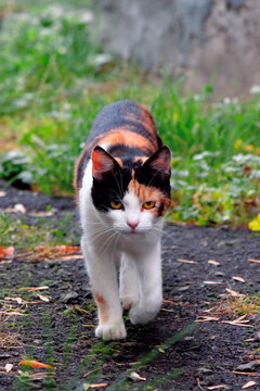 curious calico cat walking outside. predator in the autumn garden