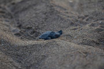 Poster de jardin Tortue ewborn baby turtle closeup climbing on sand front view