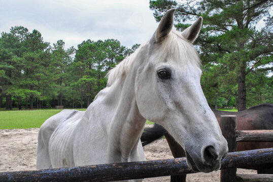 old sad skinny white stallion horse on the field near the stables. healthy mare. american quarter horse