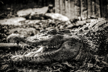 Poster Crocodile crocodile in the zoo