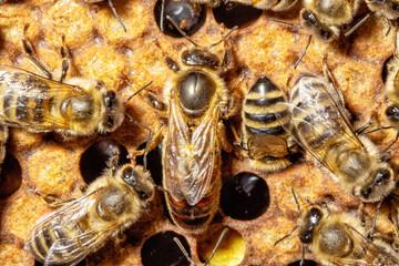 Eierlegende Bienenkönigin, die auf gedeckelter Brut inmitten von jungen Arbeitsbienen nach freien Zellen schaut.