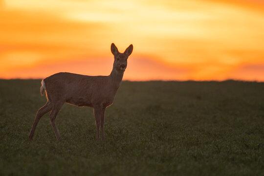Reh im Sonnenuntergang