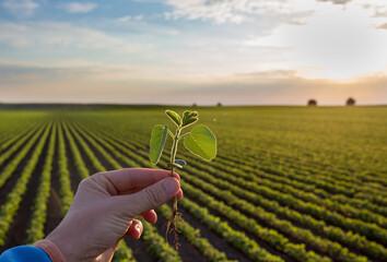 Farmer holding soybean plant in hand in field