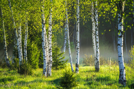 Spring in the birch grove