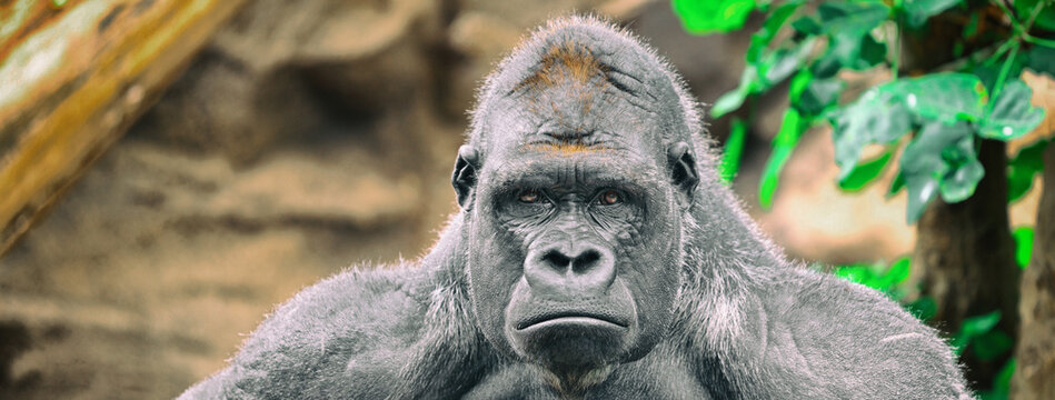 Gorilla silverback ape sad funny face banner panoramic background. Alpha male strong gorilla looking at camera.