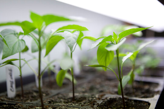 Seed Starting Indoors Growing Under Fluorescent Lights Flowers Vegetables Herbs