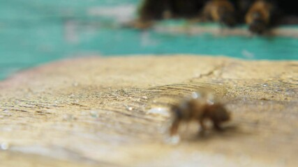 Wall Mural - Video of a bee drinking water close-up on an arrival board near the hive.