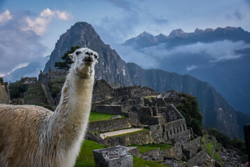 llama in the mountains