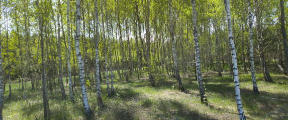 Brzozy. Las brzozowy wiosną