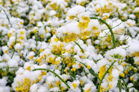 Field of flowering rape covered with snow in the spring.