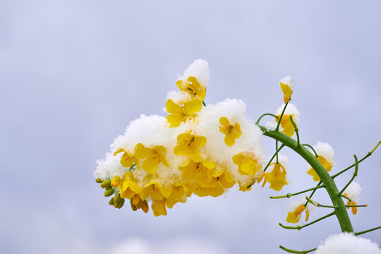 Winter oilseed rape twig covered with snow