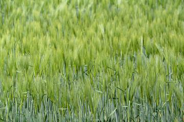 Geteidefeld im Frühjahr, Weizen, Hintergrund