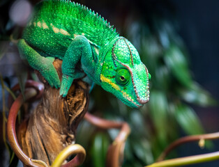 multi-colored cautious wise and ancient chameleon on a branch