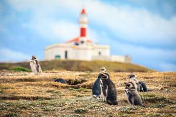 Poster Antarctica The Magellanic penguins with the Lighthouse of Magdalena Island background, Chile