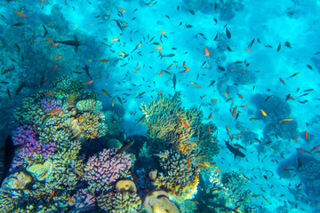 Tuinposter Koraalriffen Tropical Fish on coral reef in Ras Mohammed national park, Egypt